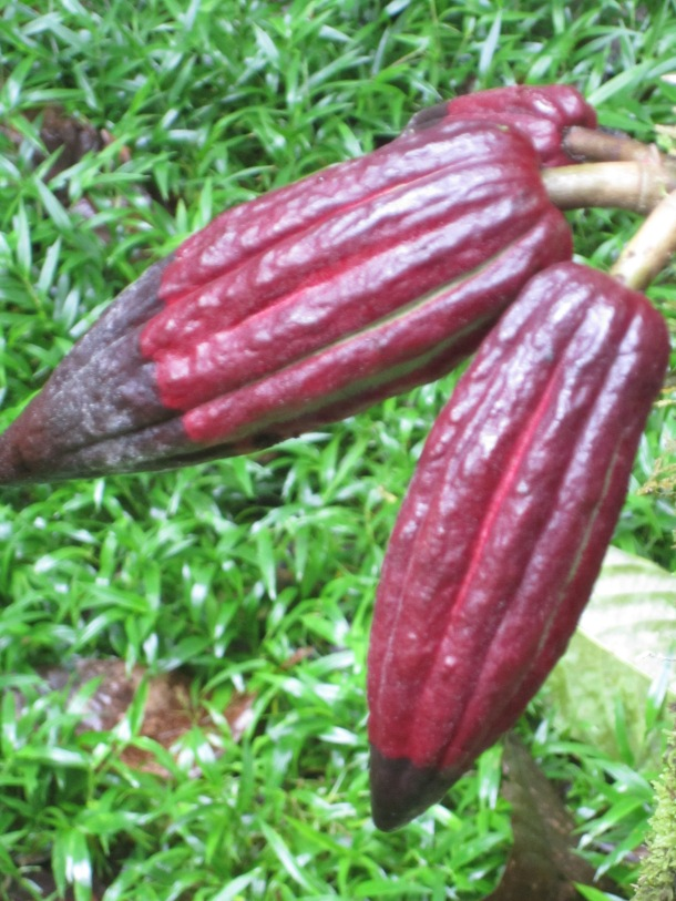 Red cocoa pods infected with black fungus.